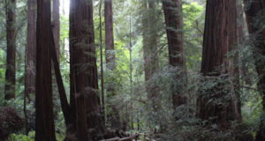 Muir Woods Redwood Creek Trail