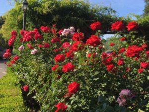 Napa Valley roses