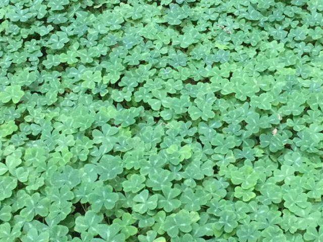 Redwood sorrel