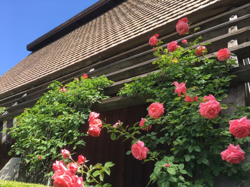 Rutherford Hill Winery roses