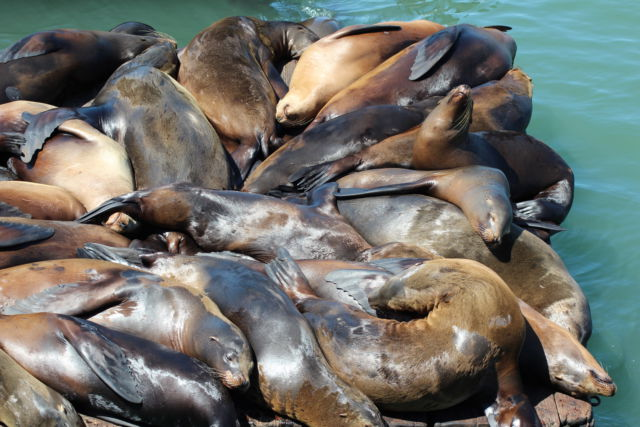 San Francisco harbor sea lions