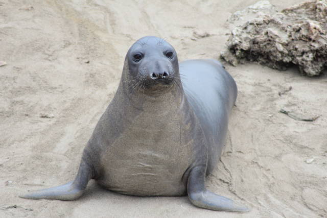 Californian elephant seal