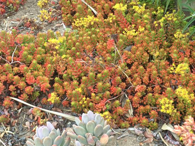 Santa Barbara Mission succulents