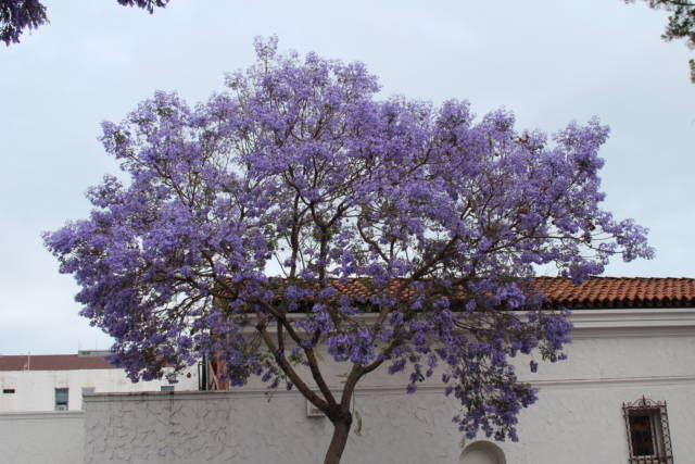 Santa Barbara Spanish building and jacaranda