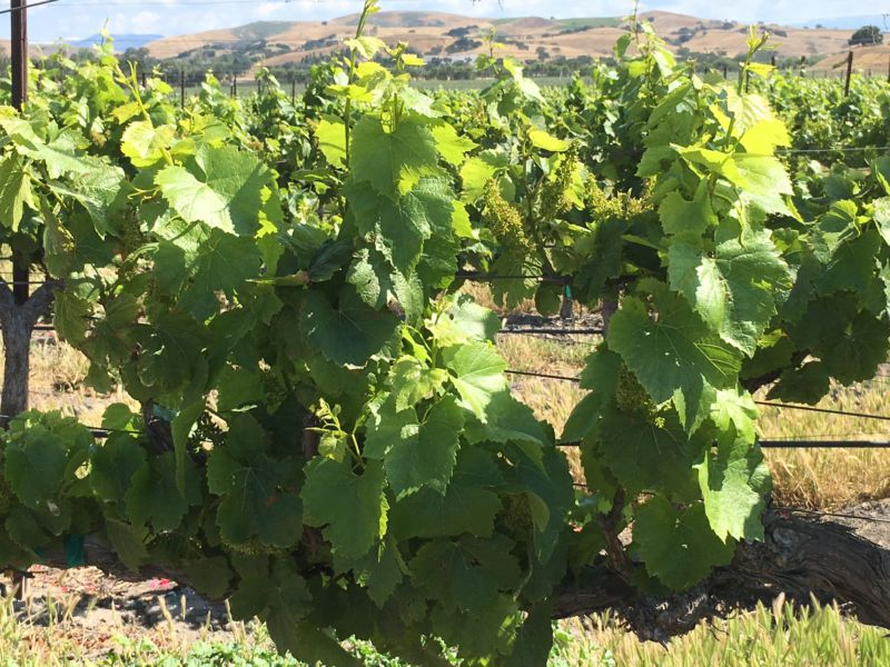 Santa Ynez Valley grapes