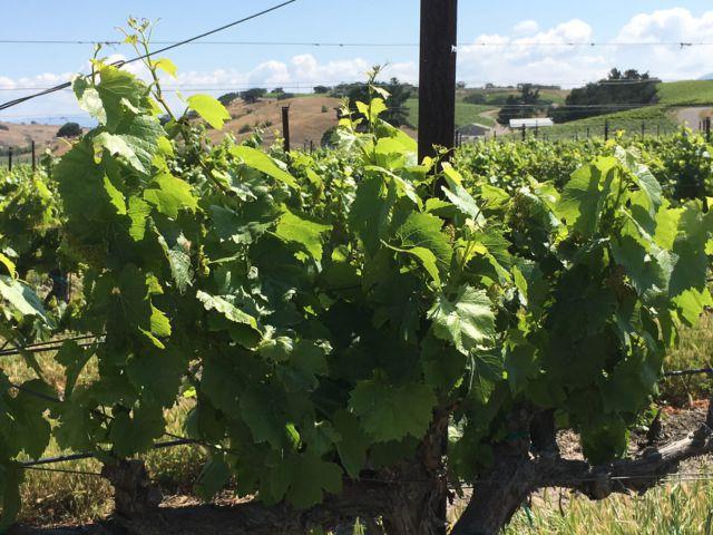 Santa Ynez Valley grapes