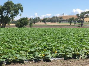 Santa Ynez Valley pumpkin field