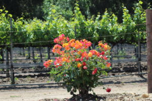 Santa Ynez Valley vineyard flowers