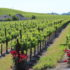 Santa Ynez Valley vineyard view