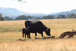 Ynez Valley cows