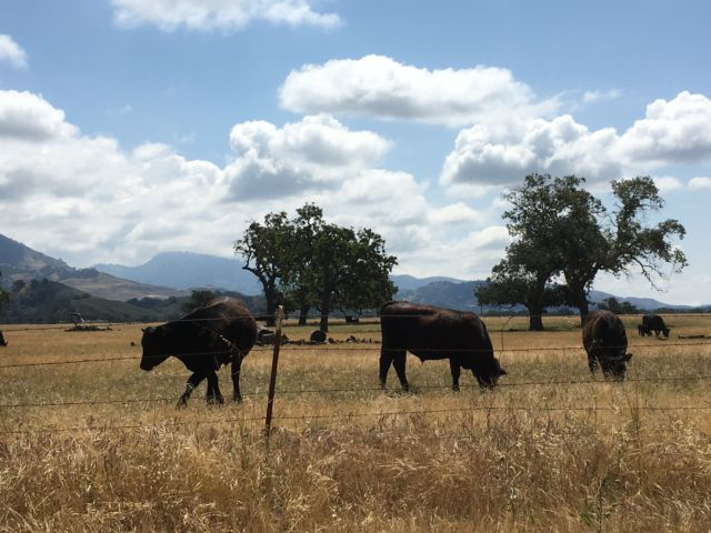 Ynez Valley winery cows grazing