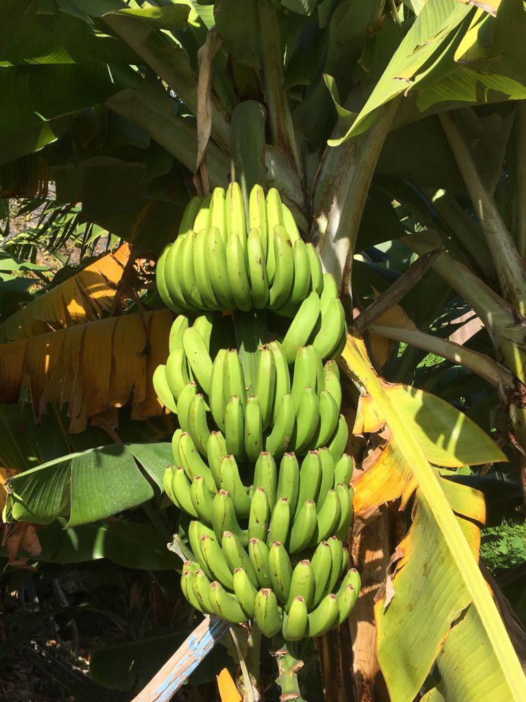 Calheta bananas