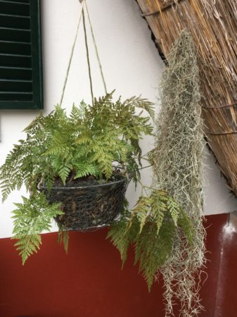 Santana plants