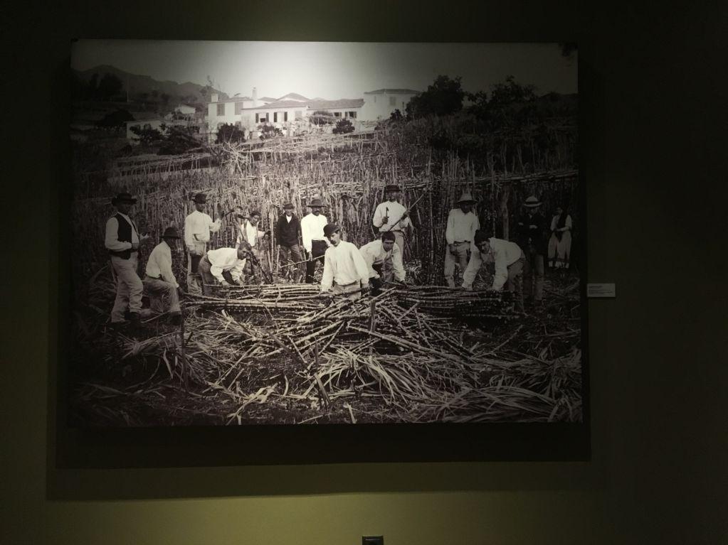 Savoy Saccharum sugar cane history Western Madeira