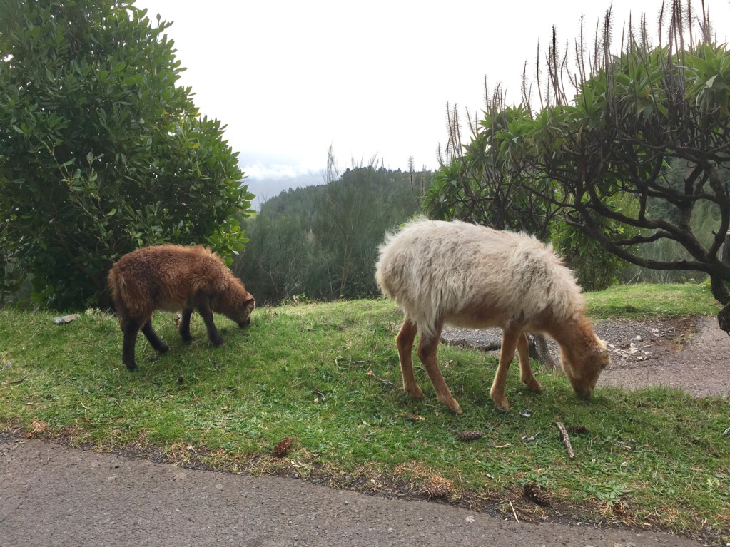 Sheep on the road to Pico do Arieiro