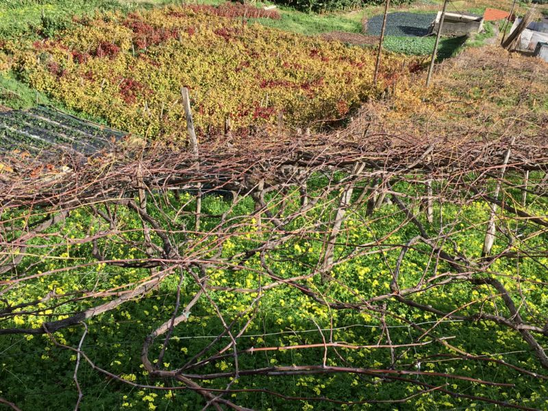 Driving in Madeira: Vineyard in Cabo Girao