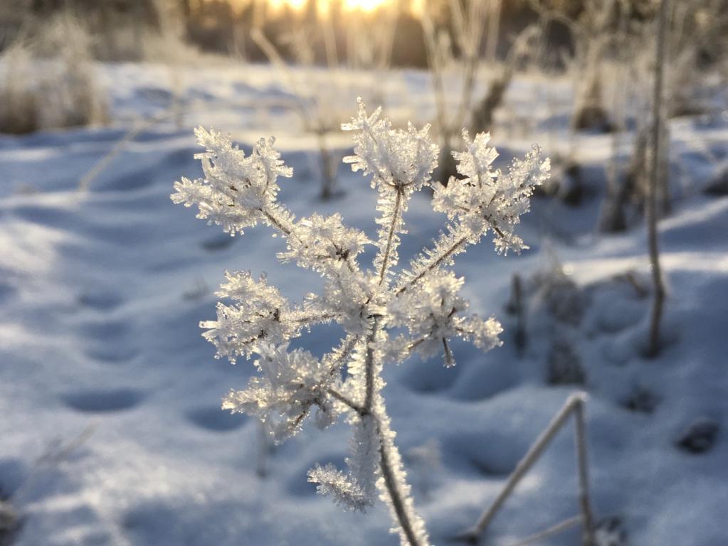 Winter nature in Finland, a frozen meadow flower