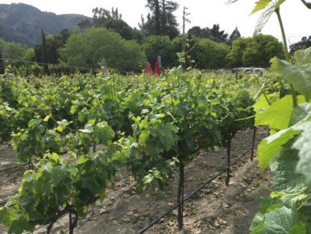 Carmel Valley vineyard view