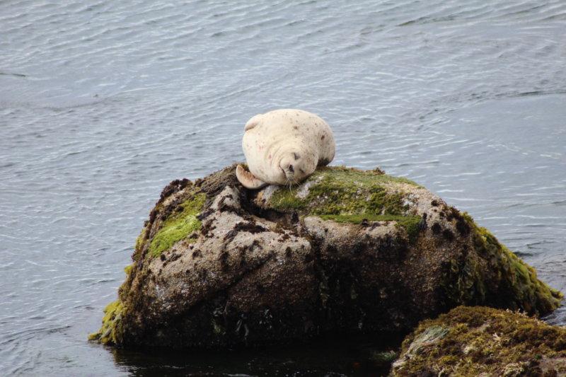 Monterey Bay harbor seal