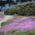 Pacific Grove ice plants