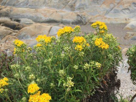Point Lobos flowers