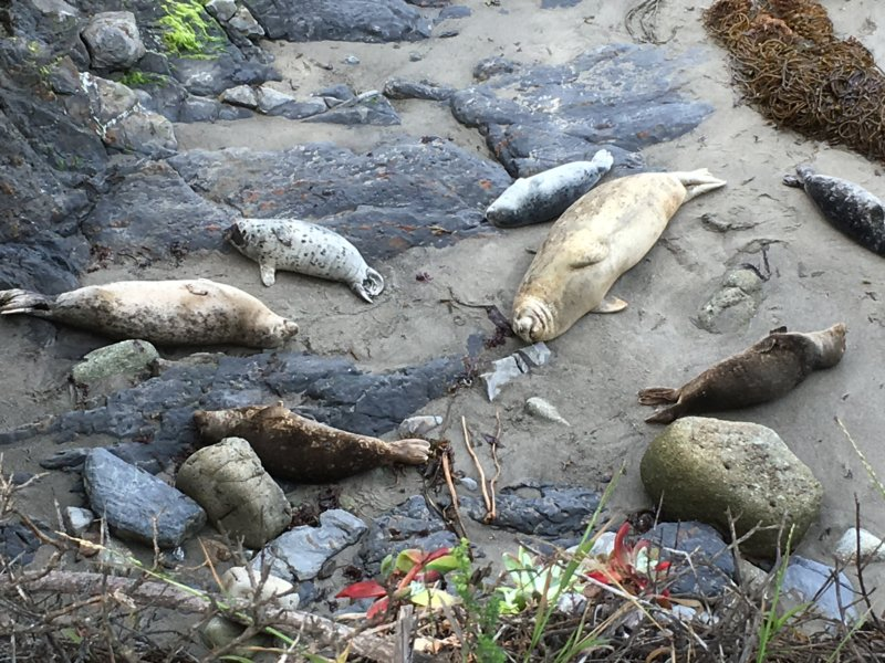 Point Lobos State Natural Reserve seals