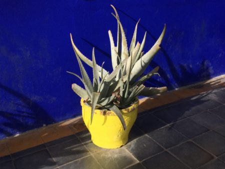 Majorelle Gardens agave in yellow pot