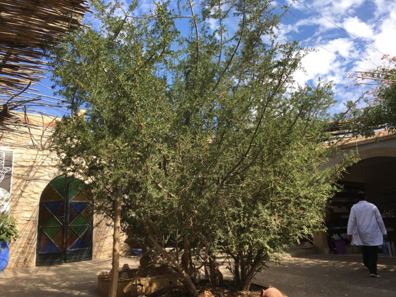 Argan tree, Morocco