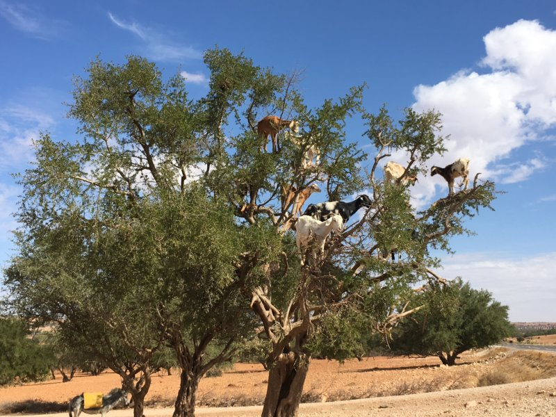 Essaouira goats in trees, why?
