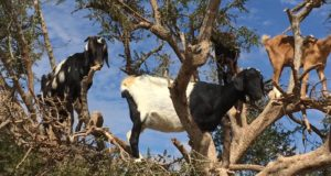 Moroccan goats in trees