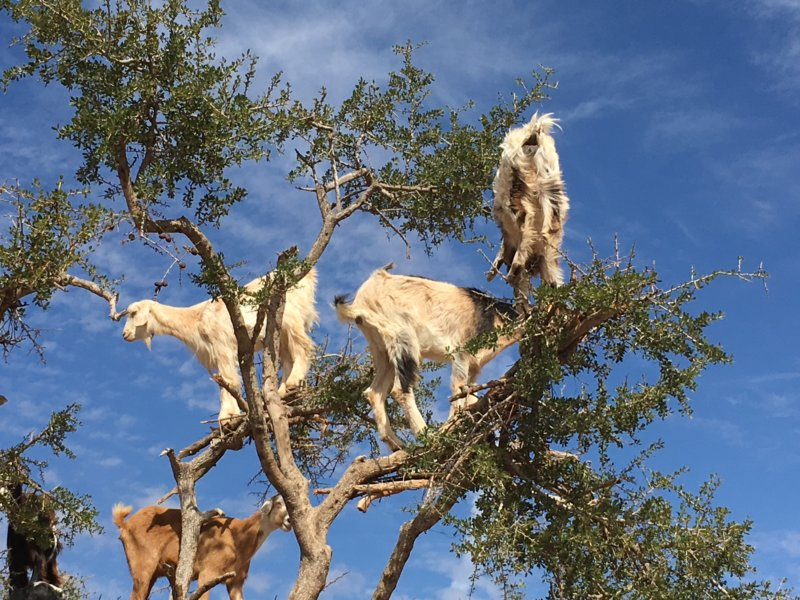 Moroccan goats in tree