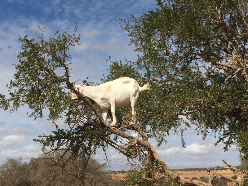 Moroccan tree climbing goat