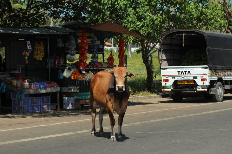 Cow in the village, Sri Lanka