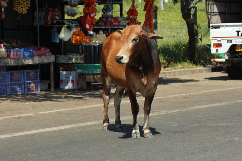 Cow on Kalpitiya main road, Sri Lanka