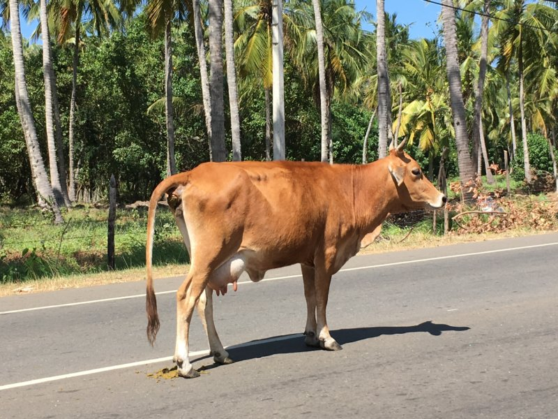 Cow on the road, Sri Lanka