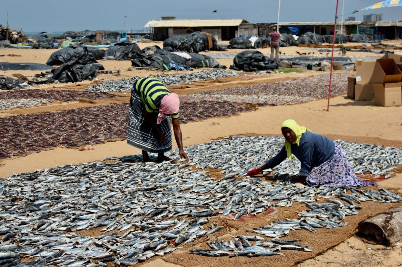 Handling fish, Negombo