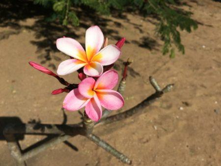 Kalpitiya temple flower plant