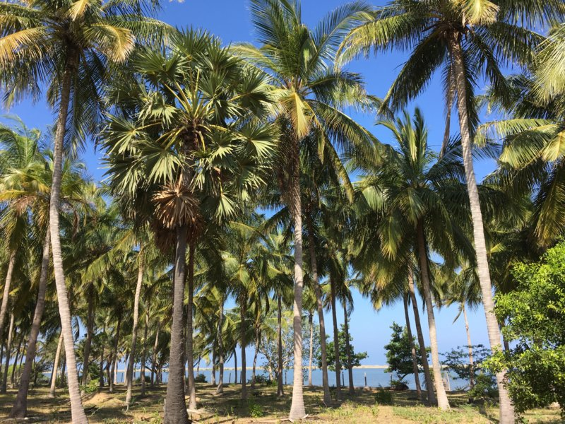 Kalpitiya palms and beach