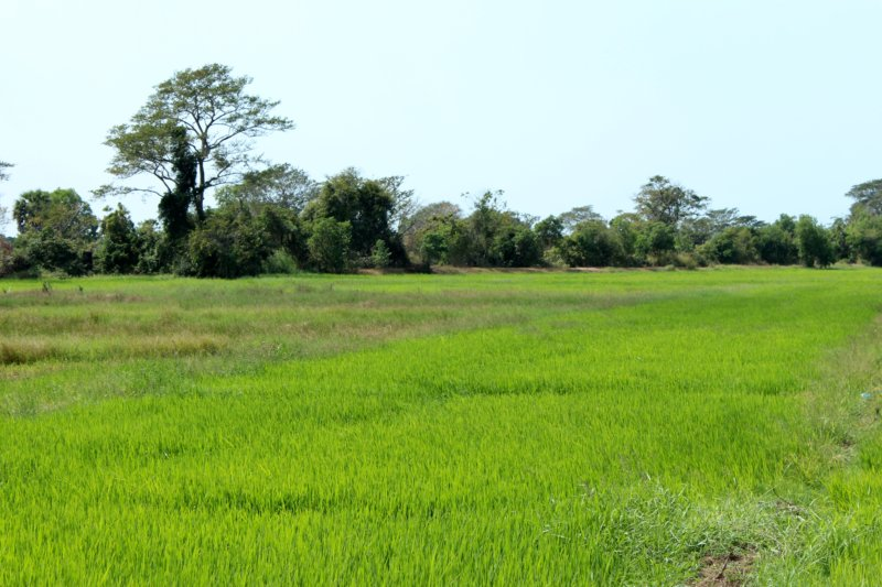Rice fields Sri Lanka West Coast