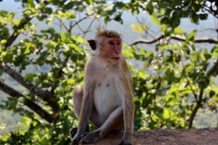 Friendly monkey on Sigiriya Rock