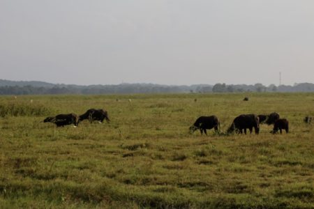 Kaudulla National Park buffaloes
