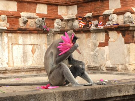 Monkeys eating temple lotus flowers