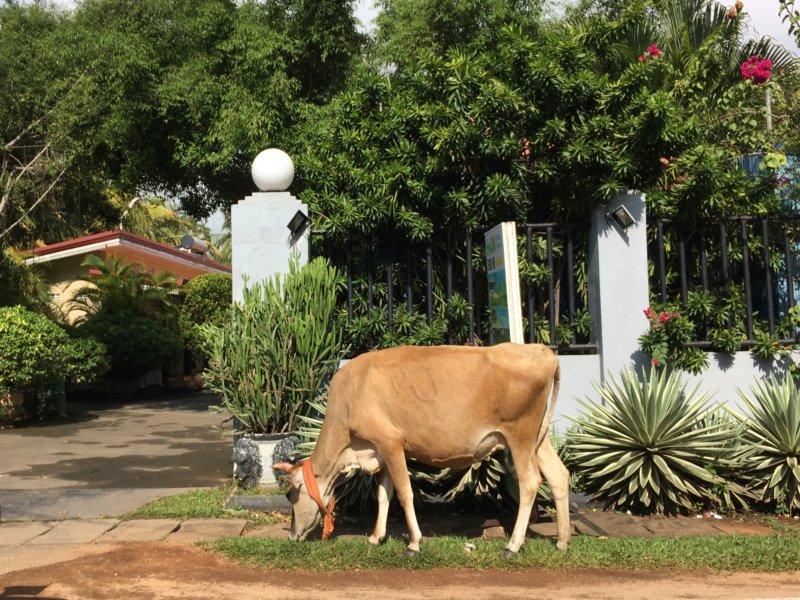 Nilaveli roadside cow
