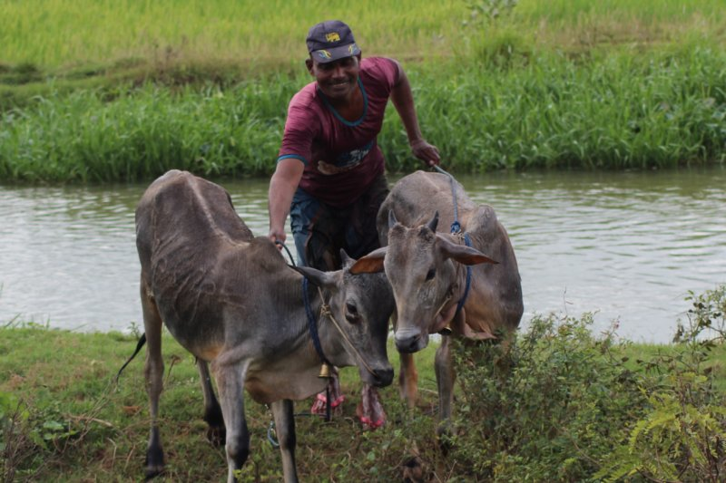 Sri Lanka East Coast, cow owner and cows