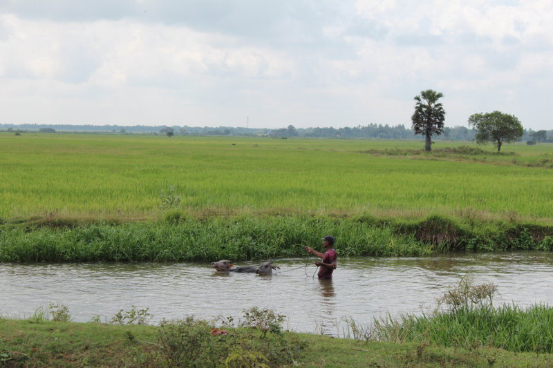 Sri Lanka's East Coast, bathing cows