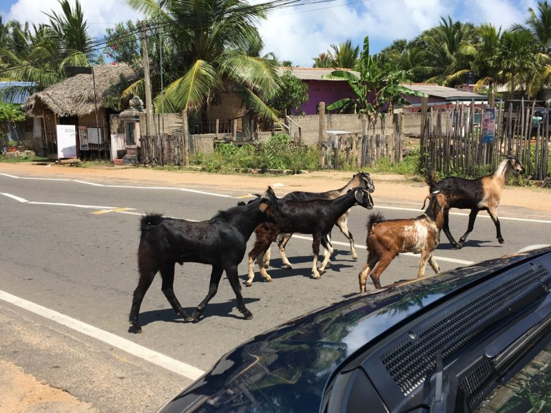 Trincomalee goats on the road