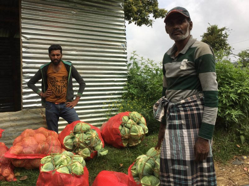 Cabbage planters close to Nuwara Eliya