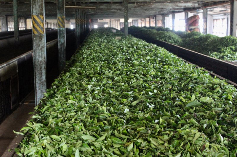 Tea leaves in tea factory