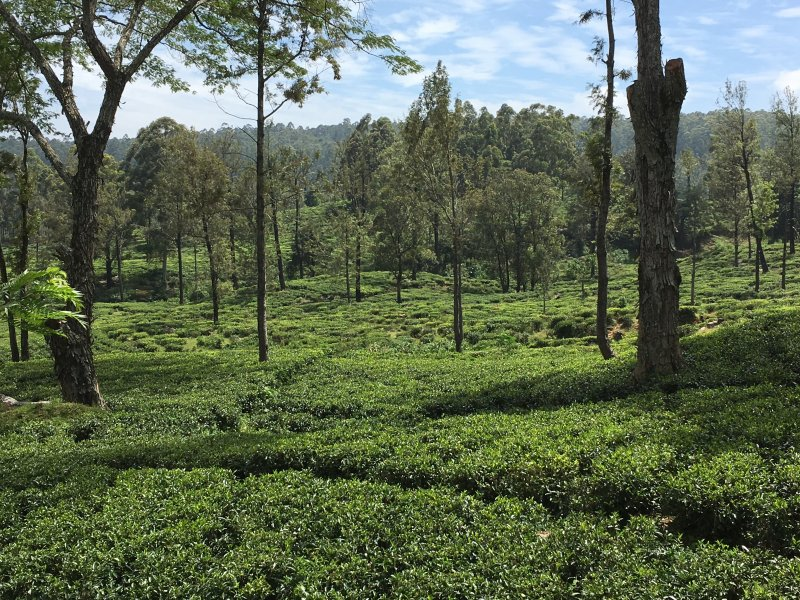 One of Sri Lanka's Ceylon tea estates