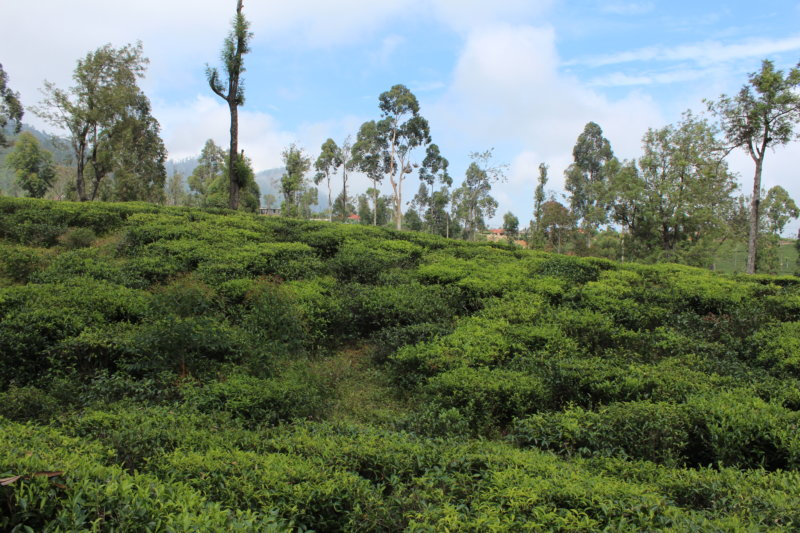 Sri Lanka tea garden